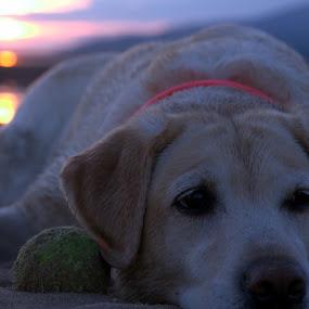 sunset dog by Nick Hogg - Animals - Dogs Portraits ( beaches, labrador, sunset, beach, dog )