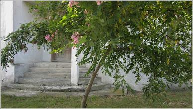 Photo: Salcâm rosu (Robinia hispida) - din Turda, Str. Octavian Goga - 2019.07.17