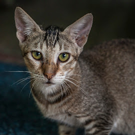 Kutkut! by Sadatul Islam - Animals - Cats Portraits ( #cat, #catportrait, #catcloseup )