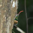 Lantern Bug