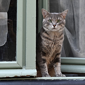 Justin by Marcel Cintalan - Animals - Cats Kittens ( surprise, cats, animals, window, kittens )