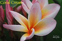 Photo: Coral Cream