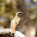 Sulpher-bellied Flycatcher