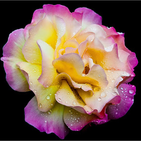 Summer Rose by Dave Angood - Flowers Single Flower ( rose, nature, petals, raindrops, rain, flower, colours, petal )