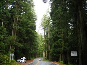 Photo: Redwood ormanı. Çam cinsinden kırmızı renkli ve YÜCE !