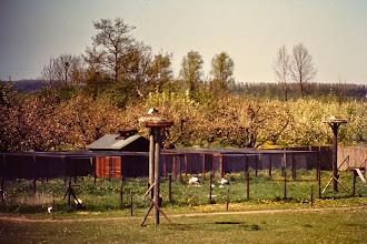 Photo: Een echte Herwijnse foto. Ooievaars op de nesten met op de achtergrond de bomen met bloesem. Verder op de foto de rennen van de ooievaars.