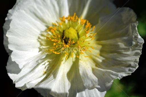 White Poppy | Single Flower | Flowers | Pixoto
