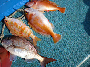 Photo: おおーっ!4匹キャッチ!・・・ん?真鯛は1匹であとは、アカイサキとキツネダイでした!