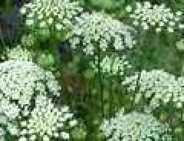 Queen Anne S Lace Flower Jelly Recipe Just A Pinch Recipes
