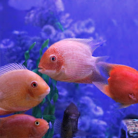 fsh by Anup Kumar Adhikari - Animals Fish