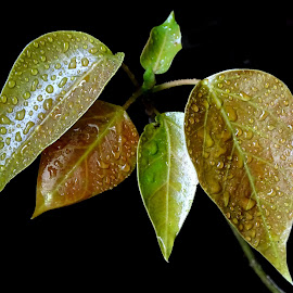 New leaves  by Asif Bora - Nature Up Close Leaves & Grasses (  )