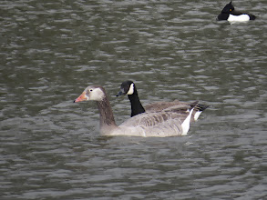 Photo: Priorslee Flash Not quite what it seems: mainly Greylag this hybrid shows some evidence of Canada Goose genes with the white cheeks and black tip to the bill. The shape of the white is not quite right when you compare it with its companion – perhaps some other genes somewhere? (Ed Wilson)