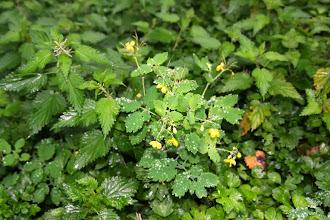 Photo: Chélidoine, Zaran-belar (Chelidonium majus) encore appelée Grande-Eclaire ou Herbe-aux-verrues