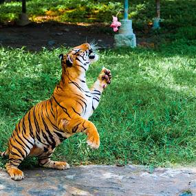 catch it...... by Rolando Eduard - Animals Lions, Tigers & Big Cats