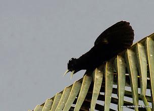 Photo: Yellow-winged Cacique, Nuevo Vallarta