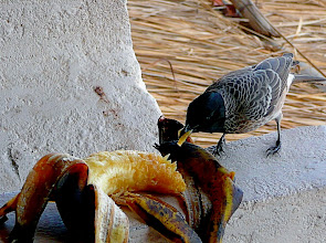 "Photo: Unbekannter ""Grauvogel"" bei leckerem Mahl."