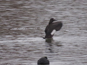 Photo: 18 Jan 14 Priorslee Lake Showing the head and bill shape in profile. (Ed Wilson)