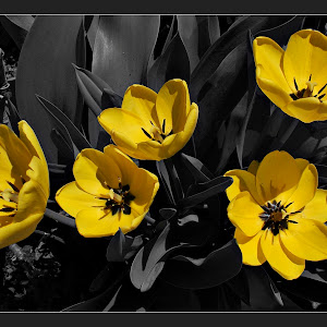 tulipan 3a.jpg