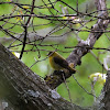 tanager?