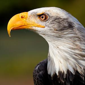 Bald Eagle_8026.jpg