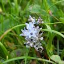 Hyacinth Bellevalia (Μπελλεβάλια η υακινθοειδής)