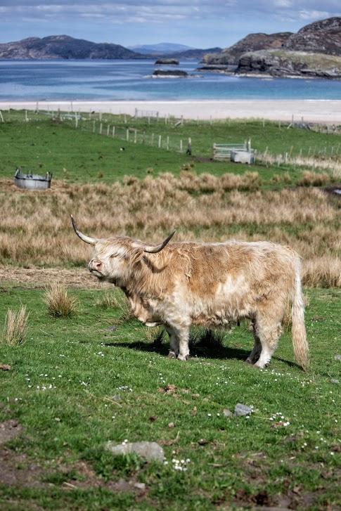 Szkocja, North Coast 500, szkocka krowa
