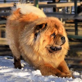 by Branka Radmanić - Animals - Dogs Portraits
