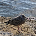 Herring Gull (Between Juvenile and 2nd Winter plumage)