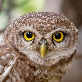 On Duty by Sanjeev Goyal - Animals Birds ( bird, owlet, bird portrait, nature, owl, nikon, birds, portrait, nikonindia, animal,  )