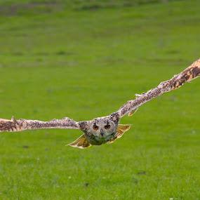 Eagle Owl...Huntly Scotland by Ian Cormack - Animals Birds ( eagle owl, birds )