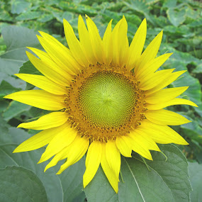 SUN FLOWER by Tina Banik - Flowers Flowers in the Wild ( green, nature, yellow, garden, flower )