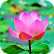 Lotus Flower Live Wallpaper (Backgrounds)