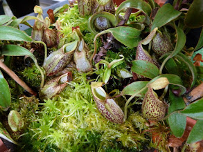 Photo: Nepenthes gymnamphora