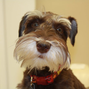 Sadie by Sharon Scholtes - Animals - Dogs Portraits ( canine, schnauzer, brown, choclate, dog )