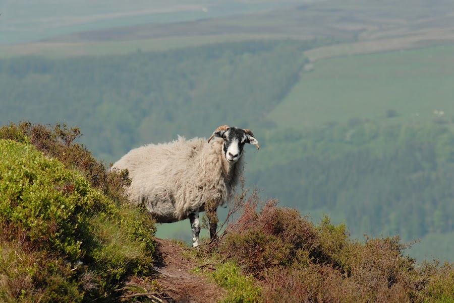Surprised Sheep by Rob Wilson - Animals Other Mammals