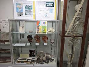 写真: 類人猿、人類の骨格標本など