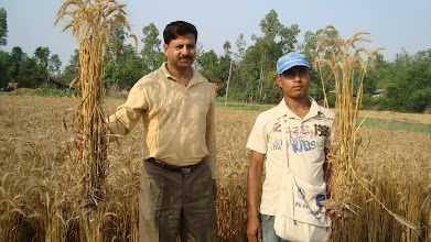Photo: SWI wheat at harvesting stage (FAO district agronomist Harish Devkota and FAYA field technician Hari P Acharya). Lalbojhi, Kailali, Nepal. 2011 [Photo provided by RB Khadka]