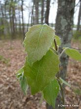 Photo: Big-tooth aspen (Populus grandidentata)
