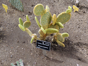 Photo: Opuntia microdasys