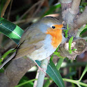 European robin. Petirrojo