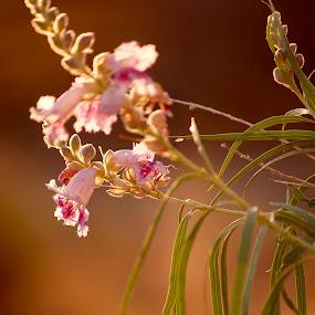 Willow by Savannah Eubanks - Flowers Tree Blossoms ( savannah, willow, flower )