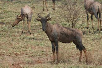 Photo: Ithala Game Reserve. Tsessebe Antilopen