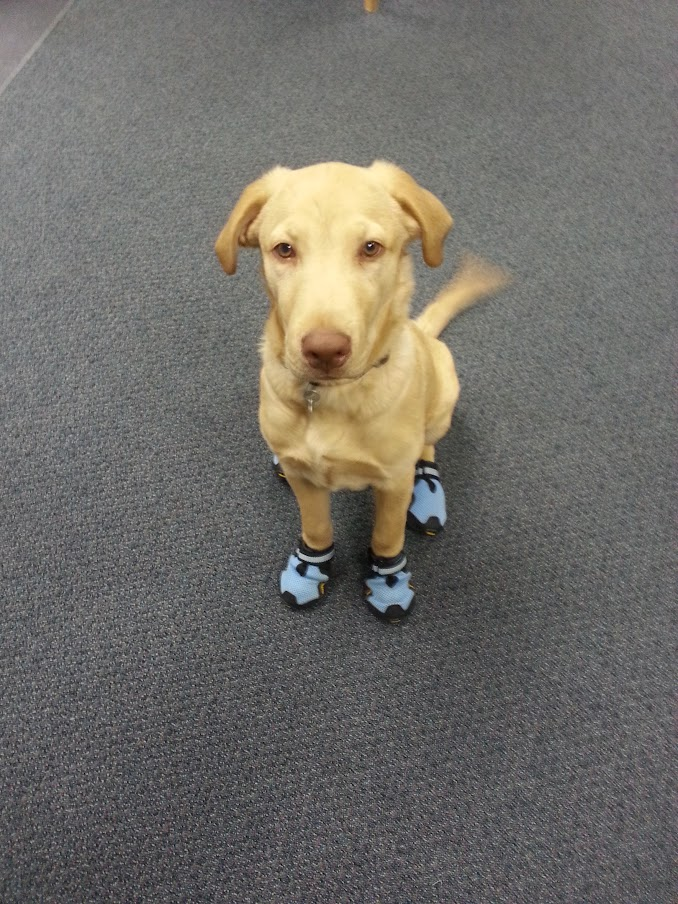 Angus in boots