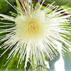 Syzygium jambos 蒲桃