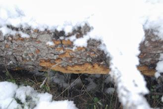 Photo: Granticka, en rödlistad art på en granlåga några meter från hyggesgränsen. Det fanns tveklöst många fler rödlistade arter i skogen som Sveaskog högg.