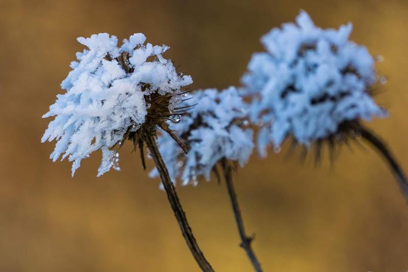 Fiori di ghiaccio di Blondphoto