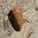 Flat-head leafhopper -female