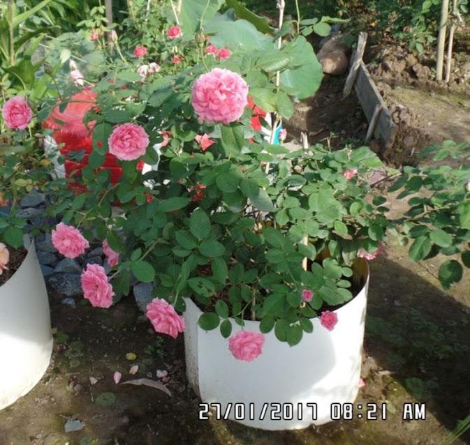 Chậu hoa hồng không biết tên này rất là siêng hoa. Trung bình 1 tháng là có một đợt hoa mới. Khi trồng cây hoa hồng này, nó luôn cho hoa nở rộ