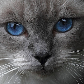 Blue eyes by Steve Adams - Animals - Cats Portraits ( ragdoll, puss, cat, blue eyes, feline, pussy cat, pussy, cutest cats, , #GARYFONGPETS, #SHOWUSYOURPETS )