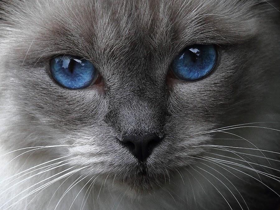 Blue eyes by Steve Adams - Animals - Cats Portraits ( ragdoll, puss, cat, blue eyes, feline, pussy cat, pussy, cutest cats, , #GARYFONGPETS, #SHOWUSYOURPETS )